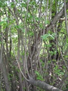 the privet hedge